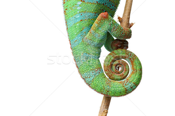 Stock photo: alive chameleon reptile tail