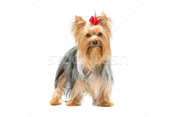Beautiful yorkshire terrier standing Stock photo © svetography
