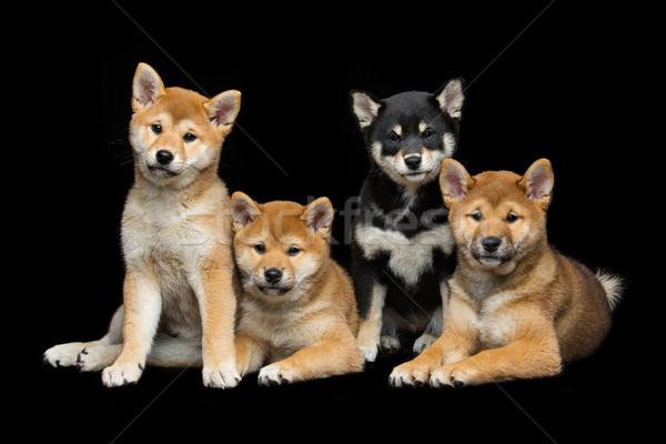 Beautiful shiba inu puppies Stock photo © svetography