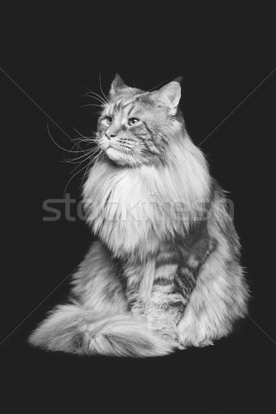 Сток-фото: красивой · кошки · большой · копия · пространства · черный