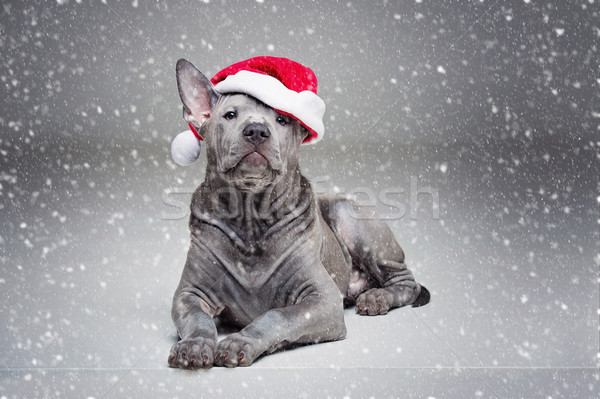 thai ridgeback puppy in xmas hat Stock photo © svetography