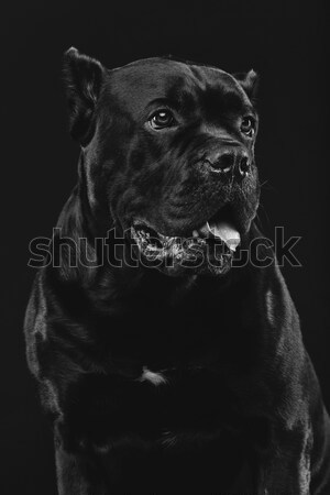 beautiful dog isolated on black Stock photo © svetography