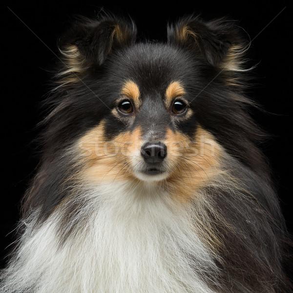 犬 クローズアップ 肖像 美しい トリコロール ストックフォト © svetography