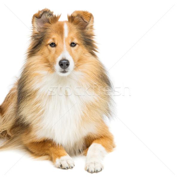 Brown sheltie dog Stock photo © svetography