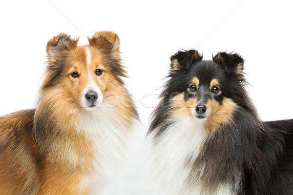 Two sheltie dogs Stock photo © svetography