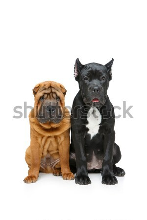 beautiful two puppy dogs Stock photo © svetography
