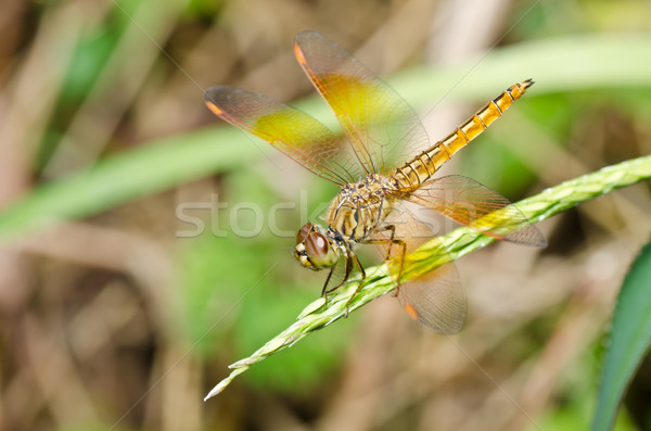 yellow dragonfly in garden Stock photo © sweetcrisis