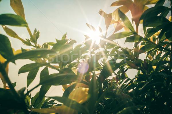 Altın trompet çiçek bağbozumu bahçe doğa Stok fotoğraf © sweetcrisis
