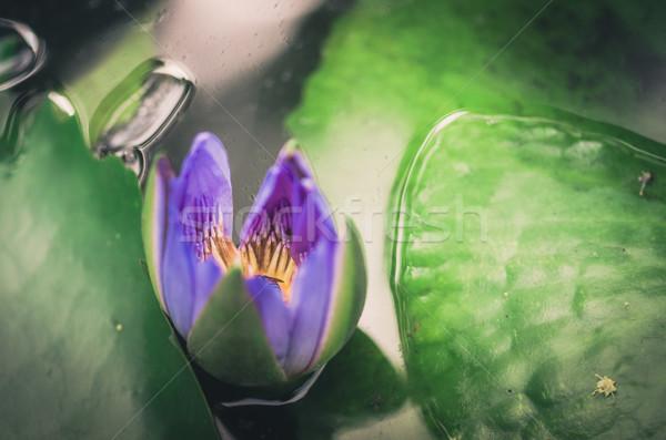 Lótusz víz liliom virág klasszikus tavacska Stock fotó © sweetcrisis
