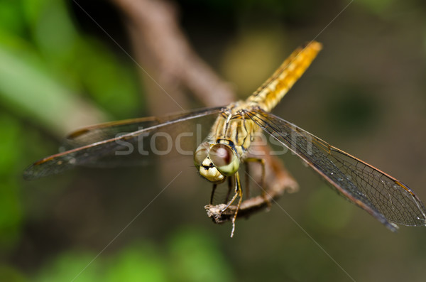 Libellule jardin vert nature belle insecte Photo stock © sweetcrisis
