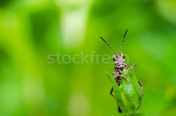 Konik polny makro zielone charakter ogród żywności Zdjęcia stock © sweetcrisis