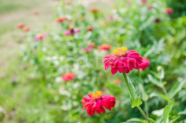 цветок саду природы парка красоту лет Сток-фото © sweetcrisis