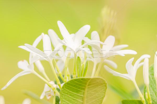White flower Stock photo © sweetcrisis