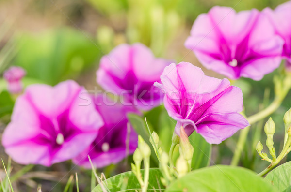 Rano chwała kwiaty rodziny charakter ogród Zdjęcia stock © sweetcrisis