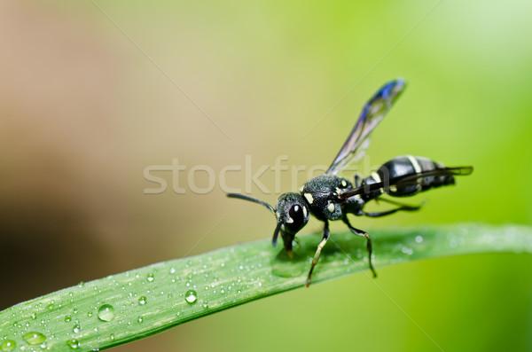 Zwarte wesp groene natuur tuin Stockfoto © sweetcrisis