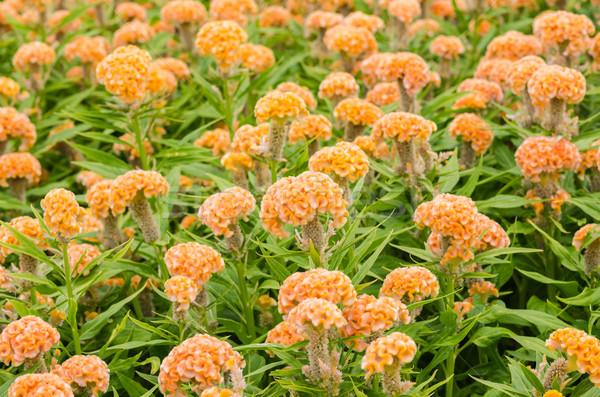 Orange Celosia or Wool flowers or Cockscomb flower Stock photo © sweetcrisis