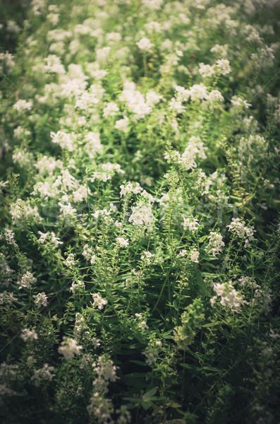 Fehér virág klasszikus kert természet park Thaiföld Stock fotó © sweetcrisis
