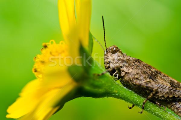 Konik polny żółty kwiat zielone charakter ogród żywności Zdjęcia stock © sweetcrisis