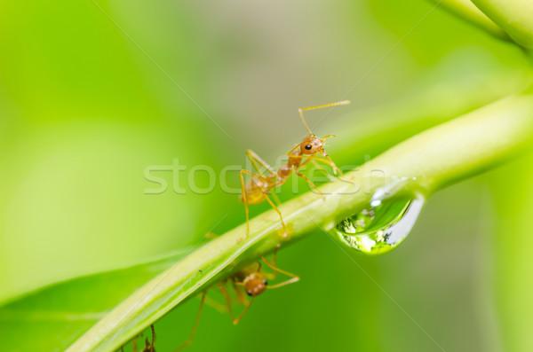 Vermelho formiga folha natureza água Foto stock © sweetcrisis