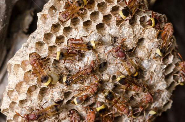 Vespa ninho marrom colônia inseto natureza Foto stock © sweetcrisis