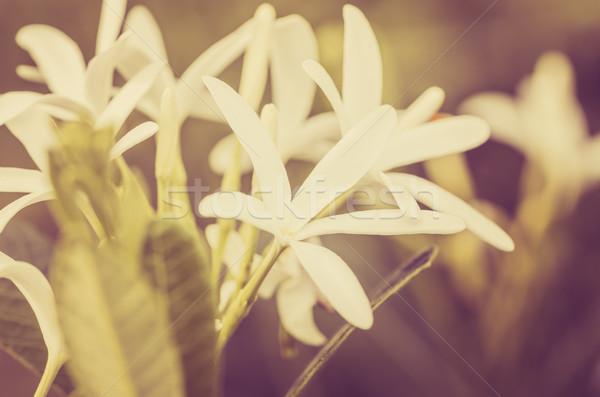 Fiore bianco vintage giardino natura parco Thailandia Foto d'archivio © sweetcrisis