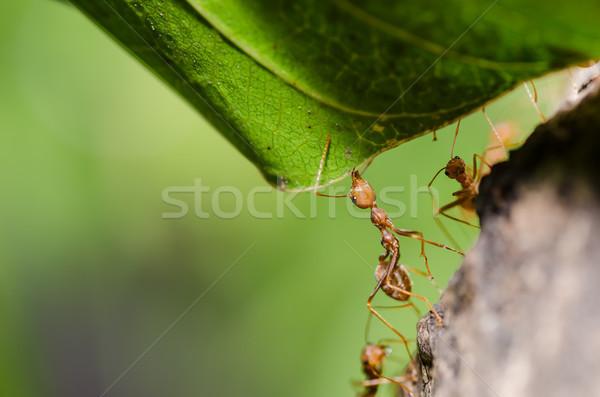 Rouge fourmi feuille nature Photo stock © sweetcrisis