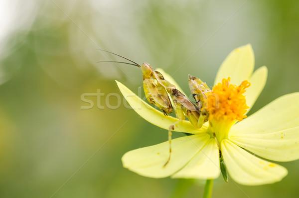Cosmos sulphureus flower and mantis Stock photo © sweetcrisis
