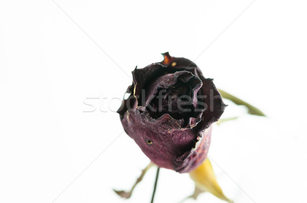 Rosa flor jardim de flores natureza amor fundo Foto stock © sweetcrisis