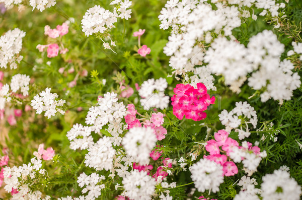 Wild little flowers Stock photo © sweetcrisis