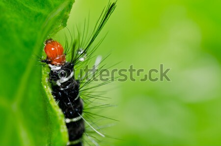 jewel beetle in green nature Stock photo © sweetcrisis
