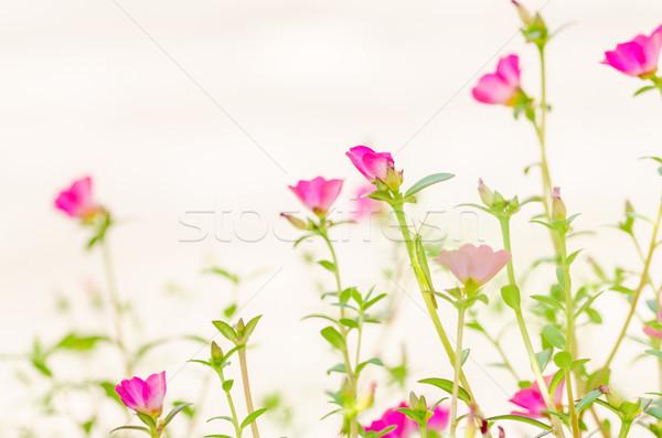 Stock photo: Common Purslane or Verdolaga or Pigweed or Little Hogweed or Pus