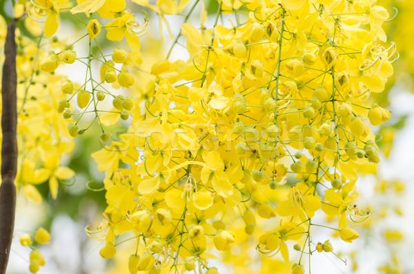 Golden shower or Cassia fistula flower Stock photo © sweetcrisis