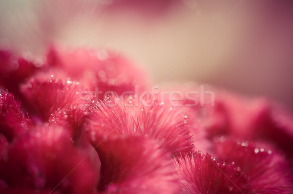 Celosia or Wool flowers or Cockscomb flower vintage Stock photo © sweetcrisis