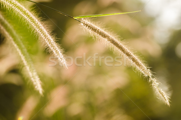 Dwarf Foxtail Grass  Stock photo © sweetcrisis