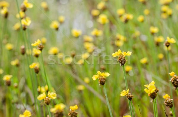 黄色の花 タイ 草 自然 庭園 ストックフォト © sweetcrisis