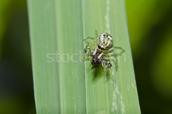 jumping spider eat bug in green nature Stock photo © sweetcrisis