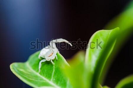 Witte spin blad natuur tuin voorjaar Stockfoto © sweetcrisis