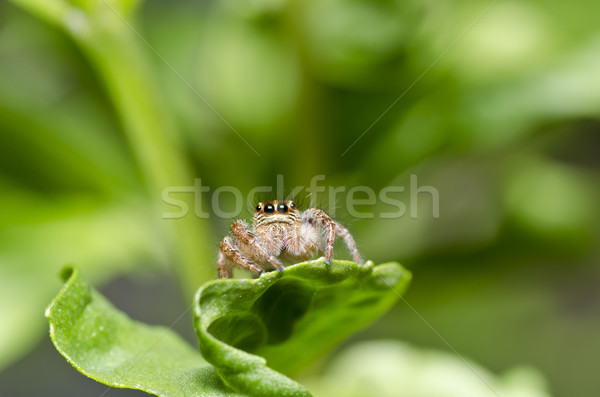 jumping spider in garden or in green nature Stock photo © sweetcrisis