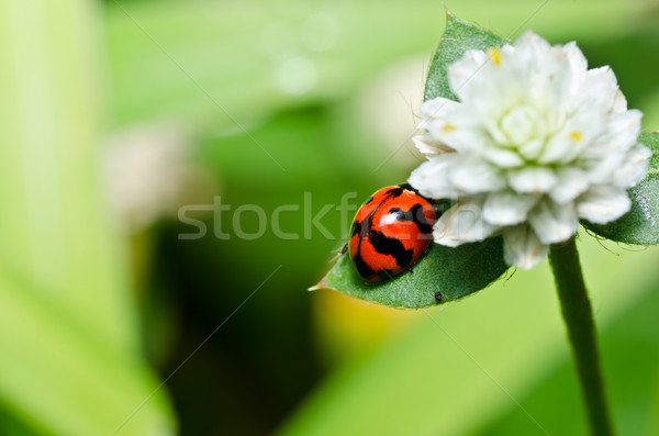 Rouge ponderosa coccinelle vert nature jardin Photo stock © sweetcrisis