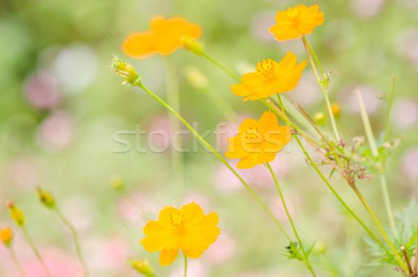 Cosmos sulphureus flower Stock photo © sweetcrisis