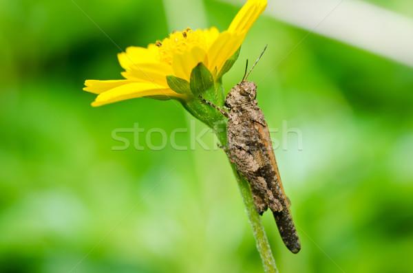ストックフォト: グラスホッパー · 黄色の花 · 緑 · 自然 · 庭園 · 食品