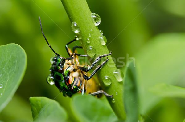 jewel beetle in green nature Stock photo © sweetcrisis