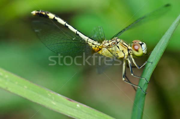 Stock fotó: Szitakötő · kert · zöld · természet · gyönyörű · rovar