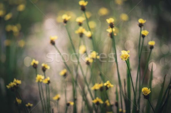 黄色の花 ヴィンテージ タイ 草 自然 ストックフォト © sweetcrisis