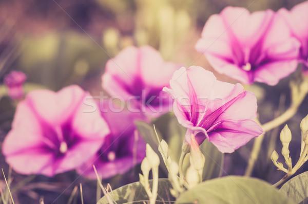 Manhã glória flores vintage família natureza Foto stock © sweetcrisis