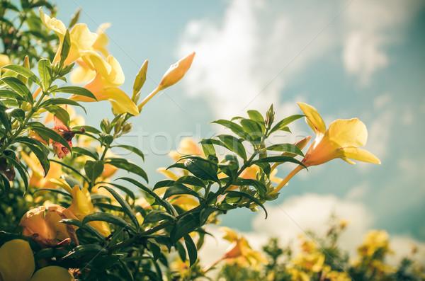 Gouden trompet bloem vintage tuin natuur Stockfoto © sweetcrisis