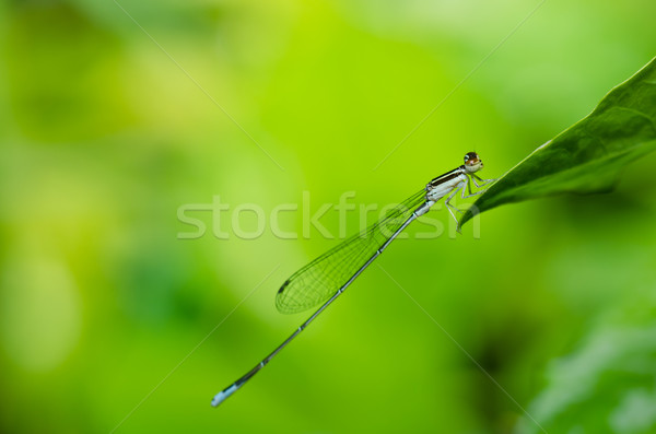 damselfly or little dragonfly Stock photo © sweetcrisis