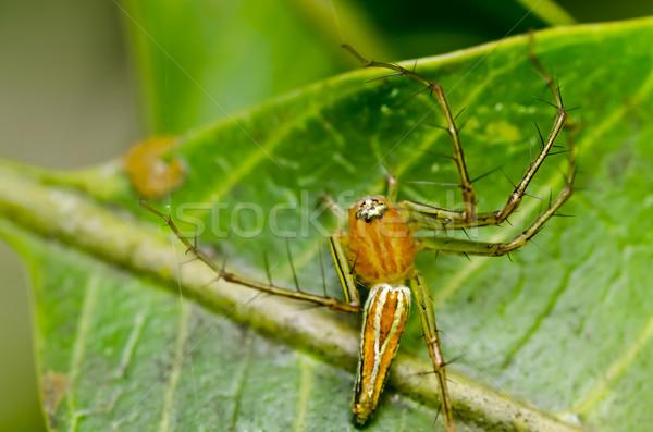 Hosszú lábak pók zöld természet zöld levél kert Stock fotó © sweetcrisis