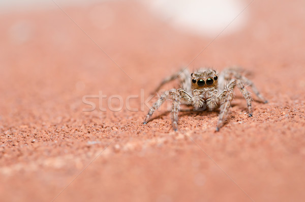 Spider on brown wall background Stock photo © sweetcrisis