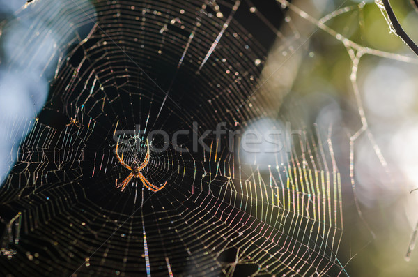 Spider and web in the nature Stock photo © sweetcrisis
